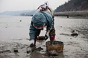"""Woman collecting mussels on the slowly closing """"Mysterious Sea Road"""" at Hoedong shore (Jindo island). Jindo is the 3rd biggest island in South Korea located in the South-West end of the country and famous for the """"Mysterious Sea Route"""" or """"Moses Miracle"""". Every spring thousands flock to the shores of Jindo to walk the mysterious route that stretches roughly three kilometers from Hoedong to the distant island of Modo. Materializing from the rise and fall of the tides, the divide can reach as wide as forty meters."""