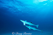 free-swimming remoras, or sharksuckers, Echeneis naucrates, Bimini, Bahamas ( Western Atlantic Ocean )