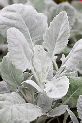 Senecio cineraria 'Cirrus'. Silver ragwort