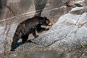An American black bear (Ursus americanus) forages for seafood in tidal seaweed on Tracy Arm Fjord. Juneau, Alaska, USA. To visit Tracy Arm Fjord and South Sawyer Glacier from Juneau, we highly recommend the smoothly stabilized day cruise aboard the 56-foot boat Adventure Bound. This journey to the heart of Tracy Arm-Fords Terror Wilderness (Tongass National Forest) rivals Norwegian fjords and adds a punchbowl of icebergs from the spectacular South Sawyer Glacier, which calved ice into the tidewater with a rumble and a splash. Whales, bears, sea lions and other wildlife showed up along the way. The fjord twists narrowly 30 miles into the coastal mountains, with peaks jutting up to a mile high, draped with tumbling waterfalls.