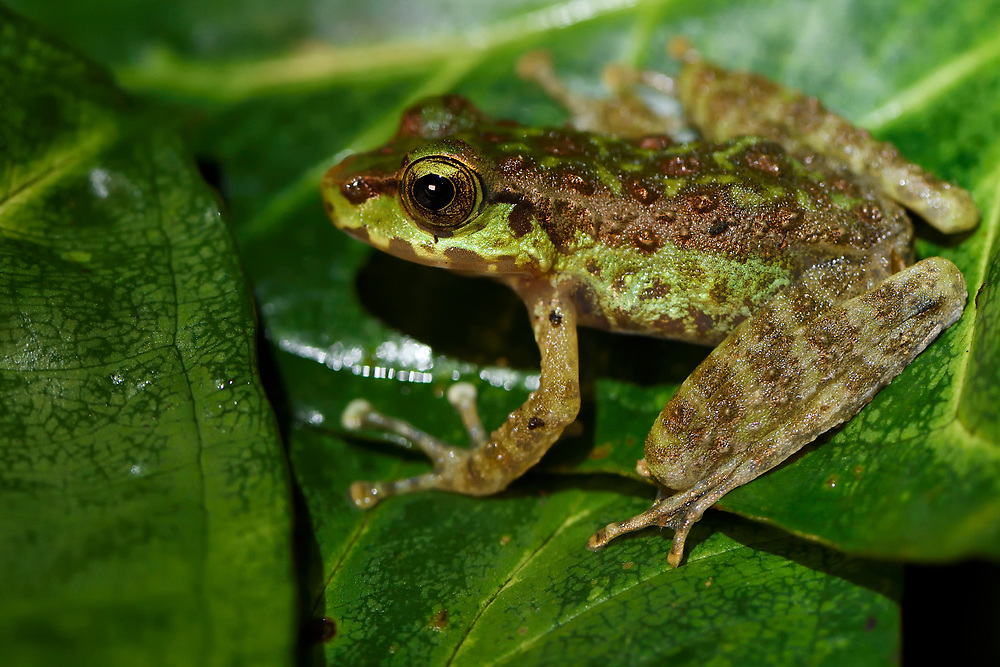 Close up of a Tree frog, Amolops marmoratus, which is sitting on a green leaf at Tongbiguan nature reserve, Dehong prefecture, Yunnan province, China