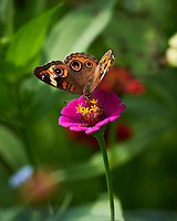 Common Buckeye butterfly feeding on Zinnia flower. Image taken with a Nikon D850 camera and 100-500 mm f/5.6 VR lens