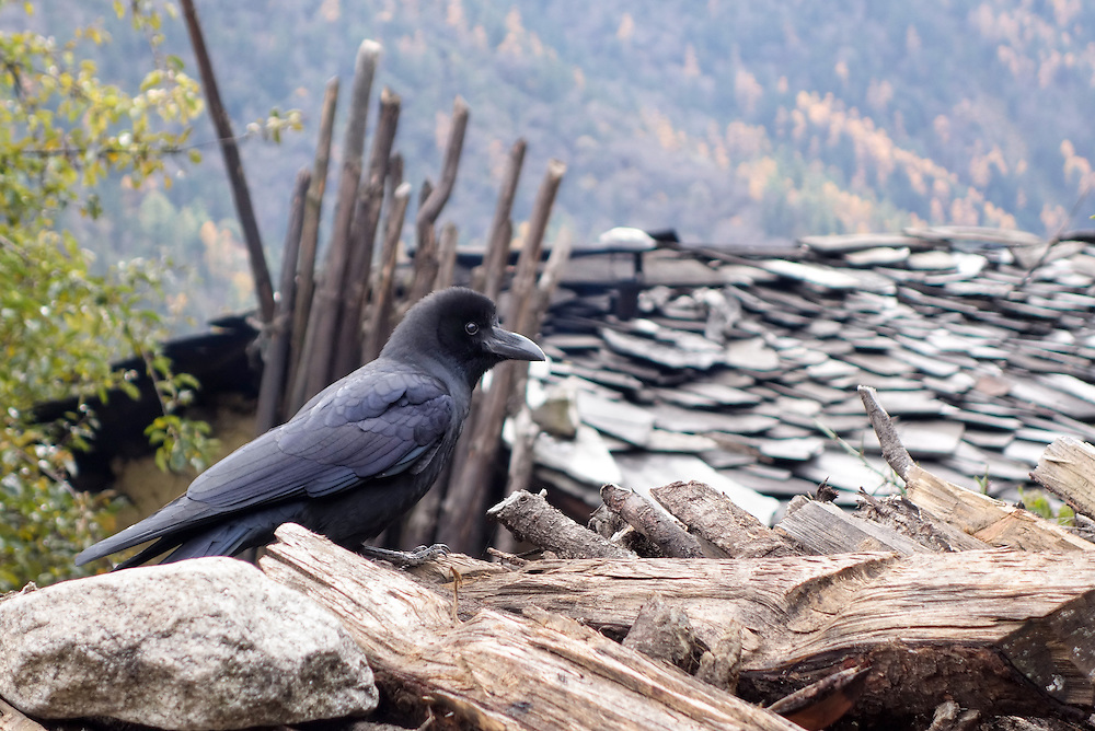 Raven on the roof of a house in the Tsum Valley of Nepal.