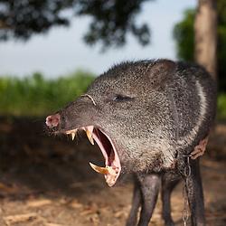 Pet pig at the Leon farm near Pedro Carbo.