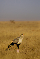 A lone Secretary Bird in the Serengeti National Park, Tanzania
