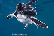 green sea turtle hatchling ( Chelonia mydas ) Endangered Species, Caribbean (c)