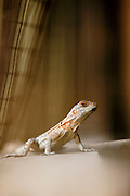 A small Iguana lizard at the Kirindy Mitea National Park, Madagascar