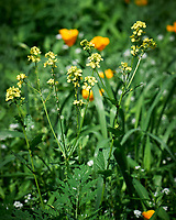 Charlock (Wild Mustard, Sinapis arvensis). Image taken with a Leica SL2 camera and 24-90 mm lens.