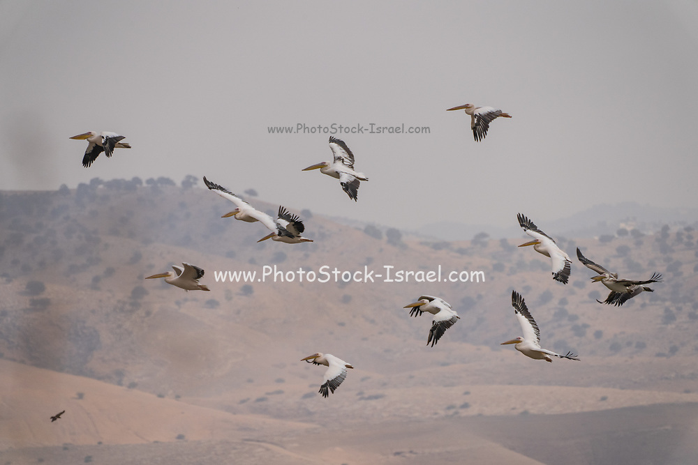 A flock of Great White Pelican (Pelecanus onocrotalus) in flight. This bird, also known as the eastern white pelican, lives in large colonies in Africa and Eurasia. It feeds almost exclusively on fish which it catches by plunging its large bill into the water. It may reach a length of up to 180 centimetres, with a wingspan of almost four metres. Photographed in Israel in November