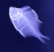 X-Ray of a  Humphead Glassfish (Parambassis pulcinella).  This is a freshwater species native to Asia.