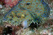 peacock flounder, Bothus lunatus, feeding on sharpnose puffer, Canthigaster rostrata, Turneffe Atoll, Belize, Central America ( Caribbean Sea )