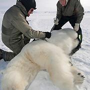 Steve Amstrup and Geoff York, USGS biologists, taking field data from a large, immobilized male polar bear (Ursus maritimus). Kaktovik, Alaska