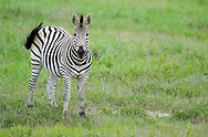 Zebra foal, Equus quagga sp., Hwange National Park, Zimbabwe