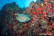 blue angelfish, Holacanthus bermudensis, Playa del Carmen, Cancun, Quintana Roo, Yucatan Peninsula, Mexico ( Caribbean Sea )