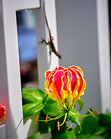 Flame Lily. Image taken with a Fuji X-T3 camera and 80 mm f/2.8 macro lens