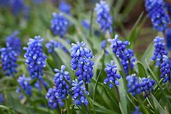Muscari 'Blue Eyes'. Grape hyacinth
