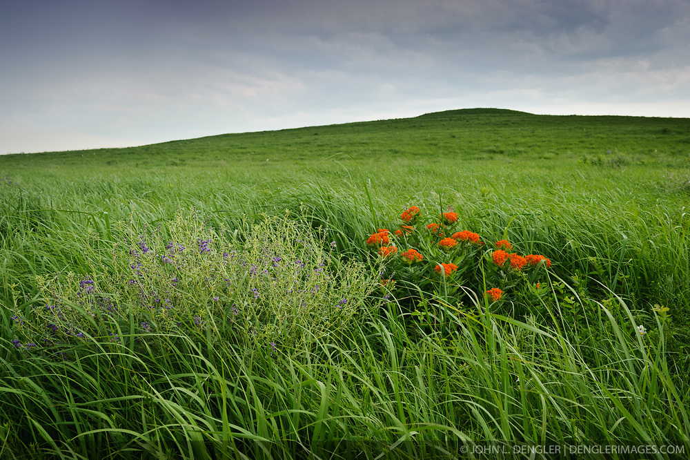 Butterfly milkweed (orange flowers) and wild alfalfa are some of the wildflowers seen along the Fox Creek Trail in the Tallgrass Prairie National Preserve in the Kansas Flint Hills. Butterfly milkweed is also known as pleurisy root. It was named this because American Indians and settlers used the plant's roots to treat respiratory illness. The 10,894-acre Tallgrass Prairie National Preserve is located in Chase County near the towns of Strong City and Cottonwood Falls. Less than four percent of the original 140 million acres of tallgrass prairie remains in North America. Most of the remaining tallgrass prairie is in the Flint Hills in Kansas. Tallgrass Prairie National Preserve is the only unit of the National Park Service dedicated to the preservation of the tallgrass prairie ecosystem. The Tallgrass Prairie National Preserve is co-managed with The Nature Conservancy.