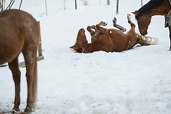 Brown horse rolling on snowy landscape, Bavaria, Germany