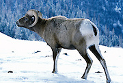 A bighorn sheep ram (Ovis canadensis canadensis) . Lostine Ridge, Wallowa Mountains, Oregon.