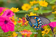 03004-00908 Pipevine Swallowtail (Battus philenor) on Red Spread Lantana (Lantana camara) in butterfly garden, Marion Co.  IL