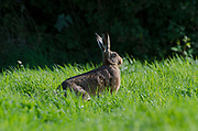 Brown hare, Lepus europaeus, in long grass at edge of woods, Lancashire, UK