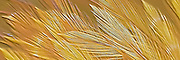 Gold Feathers Relief Pano