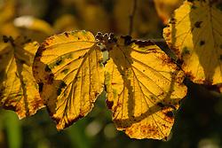 Hamamelis spec. blad, Toverhazelaar