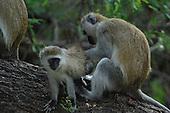 Primate Stock Photos