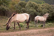 Konik horses in the nature park Oranjezon near Vrouwenpolder on the peninsula Walcheren, Zeeland, Netherlands.<br /> <br /> Konik Pferde im Naturpark Oranjezon bei Vrouwenpolder auf Walcheren, Zeeland, Niederlande.