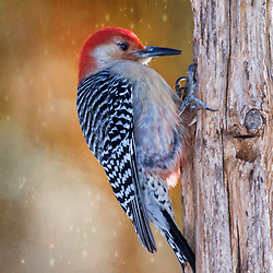 A Soft and Fluffed Male Red-Bellied Woodpecker Posted Against a Mystical Backdrop