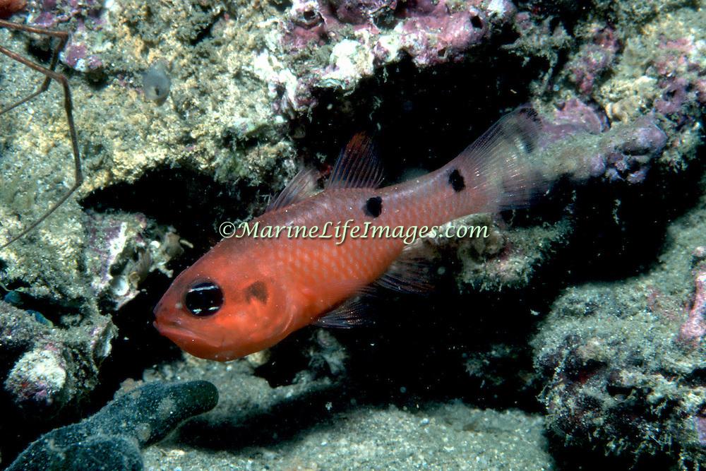 Twospot Cardinalfish inhabit wide range of habitats from shallow want under docks to deep reefs Tropical West Atlantic; picture taken Grand Cayman.