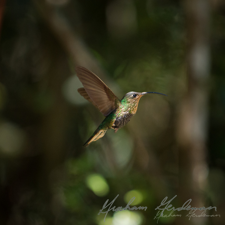 Mountain Velvetbreast (female) (Lafresnaya lafresnayi) - a beautiful hummingbird with a decurved bill. It is the only member of its genus.