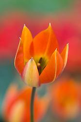Tulipa 'Whittallii'