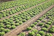 Lettuce crops growing in field, Bawdsey, Suffolk, England. The sandy soil, dry climate, flat land and easy access make the Suffolk Sandlings an ideal farming area for salad crops such as lettuce.
