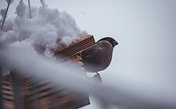 THEMENBILD - ein Gimpel (Pyrrhula pyrrhula) an einem Vogelhaus, das mit frischem Neuschnee bedeckt ist, aufgenommen am 13. November 2019, Piesendorf, Österreich // a bullfinch (Pyrrhula pyrrhula) on a birdhouse covered with fresh snow on 2019/11/13, Piesendorf, Austria. EXPA Pictures © 2019, PhotoCredit: EXPA/ Stefanie Oberhauser