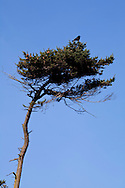 Crow sitting on top of coastal pine tree