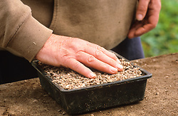Sowing seed in half trays<br /> Covering with grit