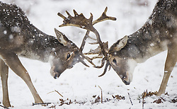 © Licensed to London News Pictures. 24/01/2021. London, UK. Two stags lock antlers in a snowy Bushy Park in south west London. A band of snow is crossing the south east this morning as temperature remain just above freezing. Photo credit: Peter Macdiarmid/LNP
