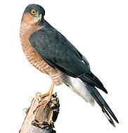 Sparrowhawk - Accipiter nisus - male. W 60-75cm. Widespread but secretive raptor that catches small birds in flight in surprise, low-level attacks. Has relatively short, rounded wings, long, barred tail, long legs and staring yellow eyes. Male is much smaller than female and also separable on plumage details. Adult male has blue-grey upperparts; pale underparts are strongly barred and reddish brown on body and wing coverts. Adult female has grey-brown upperparts and pale underparts with fine, dark barring. Juvenile has brownish upperparts, and pale underparts with broad, brown barring. Voice Utters a shrill kew-kew-kew in alarm. Status Common, associated mainly with wooded habitats, both rural and suburban.