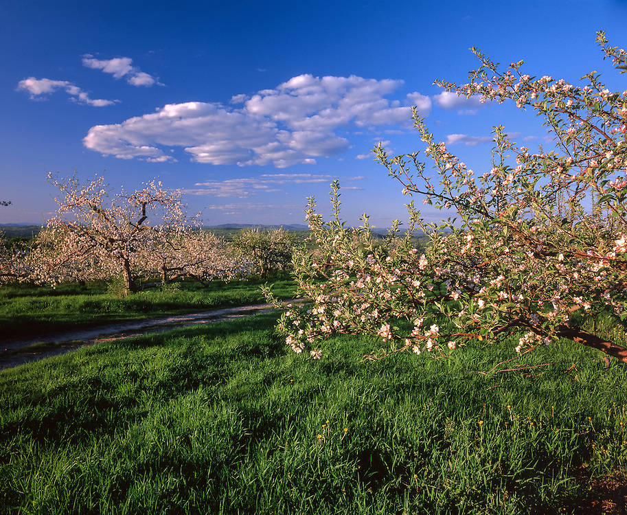 Apple trees in blossom, peak of distant mountain ridgelines, Gould Hill Orchard, Hopkinton, NH