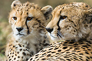 A mother cheetah (Acinonyx jubatus) with her cub, Masai Mara, Kenya