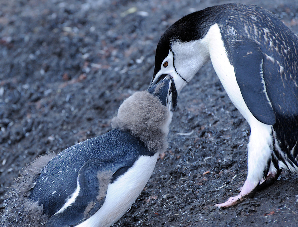 A young Chinstrap Penguin (Pygoscelis antarctica), almost fully moulted into adult plumage is fed by an adult.  Saunders Island, South Sandwich Islands. South Atlantic Ocean. 25Feb16