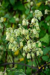 Clematis rehderiana syn. Clematis buchananiana Finet and Gagnep, Clematis nutans Becket- Nodding virgin's bower