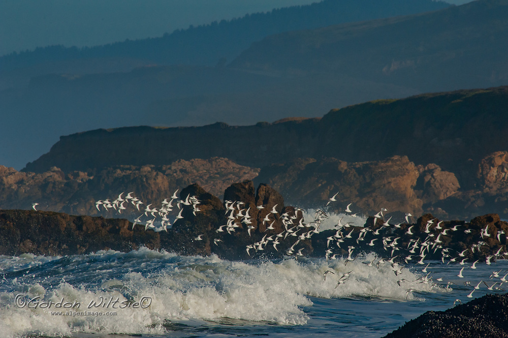 A flock of Sanderlings (Calidris alba) flies above Pacific Ocean surf near Pescadero, California.