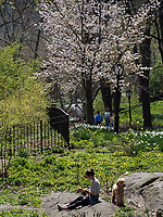 Having a quiet moment ad the spring blossoms of Central Park.