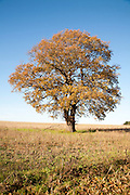 Single oak tree standing in a field in winter, Wantisden, Suffolk, England, UK