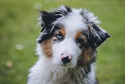 THEMENBILD - ein 14 Wochen alter Welpe (Australian Shepherd), aufgenommen am 18. Oktober 2020 in Kaprun. Oesterreich // a 14 week old puppy (Australian Shepherd), in Kaprun, Austria on 2020/10/18. EXPA Pictures © 2020, PhotoCredit: EXPA/Stefanie Oberhauser