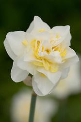 Narcissus poeticus 'Double White'