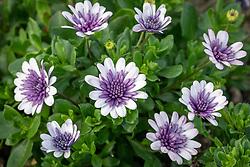 Osteospermum 'Double Violet Ice' - African daisy