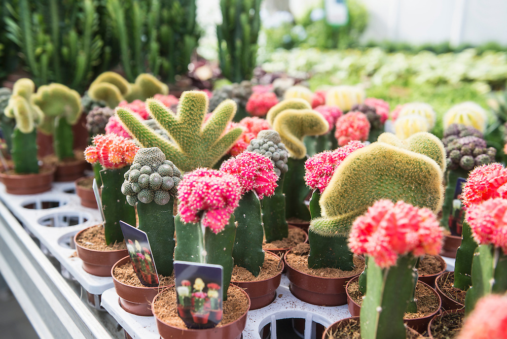 Cactus flowers for sale in garden centre, Augsburg, Bavaria, Germany